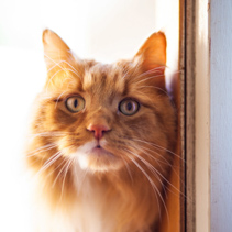 Ginger cat at the door portrait