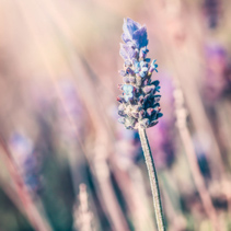 Closeup of a Lavender flower under shining sun