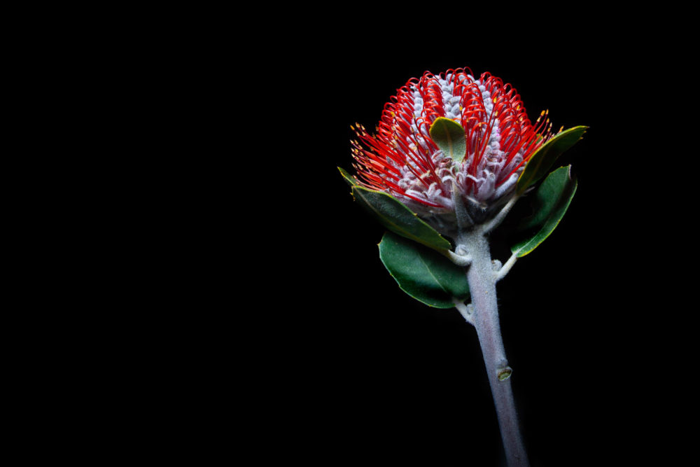 Australian honeysuckle wild flower isolated on black background with copy space
