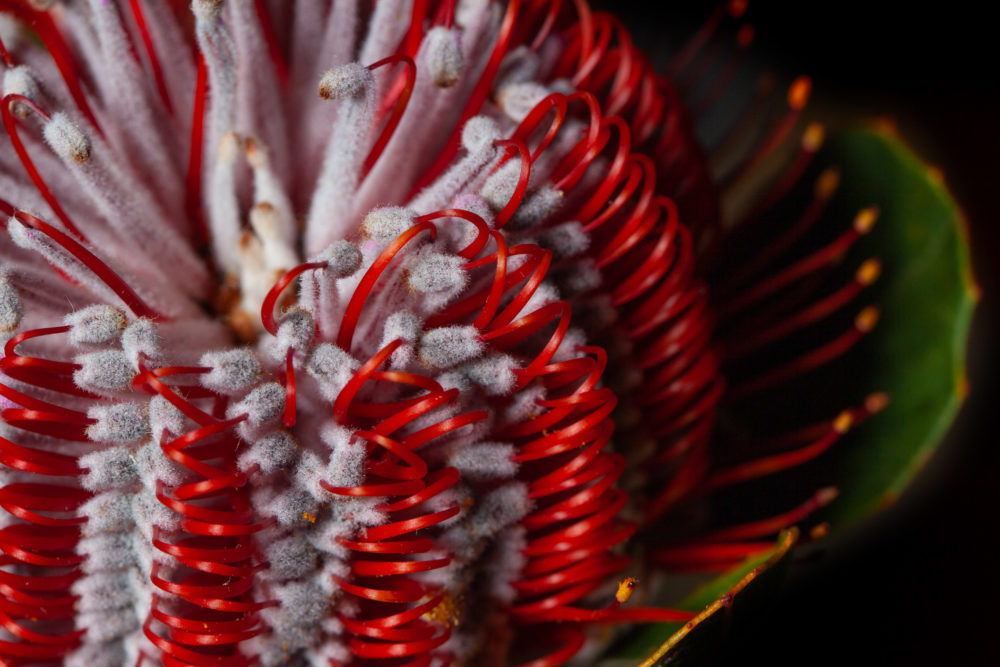 Extreme closeup of Banksia flower also know as Australian honeysuckle