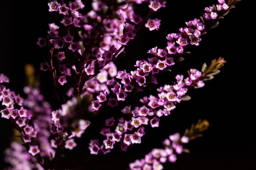 Chamelaucium uncinatum - Geraldton Wax - flowering plant endemic to Western Australia on black background