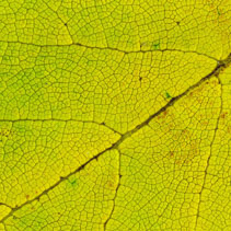 Lime green leaf texture macro closeup. Beautiful natural pattern, Horizontal image