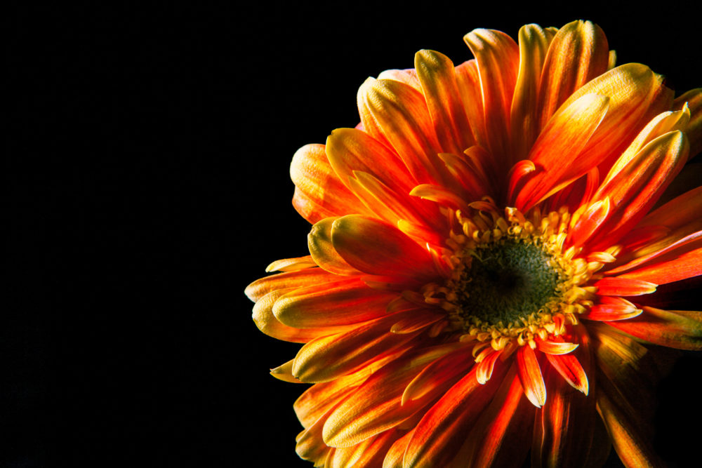 Red - orange gerbera flower head closeup on black background with copy space