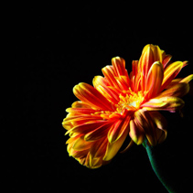Beautiful daisy isolated on black background with copy space