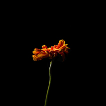 Daisy in red - orange on a long stem isolated on black - vertical image