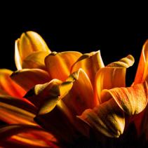 Daisy petals extreme closeup