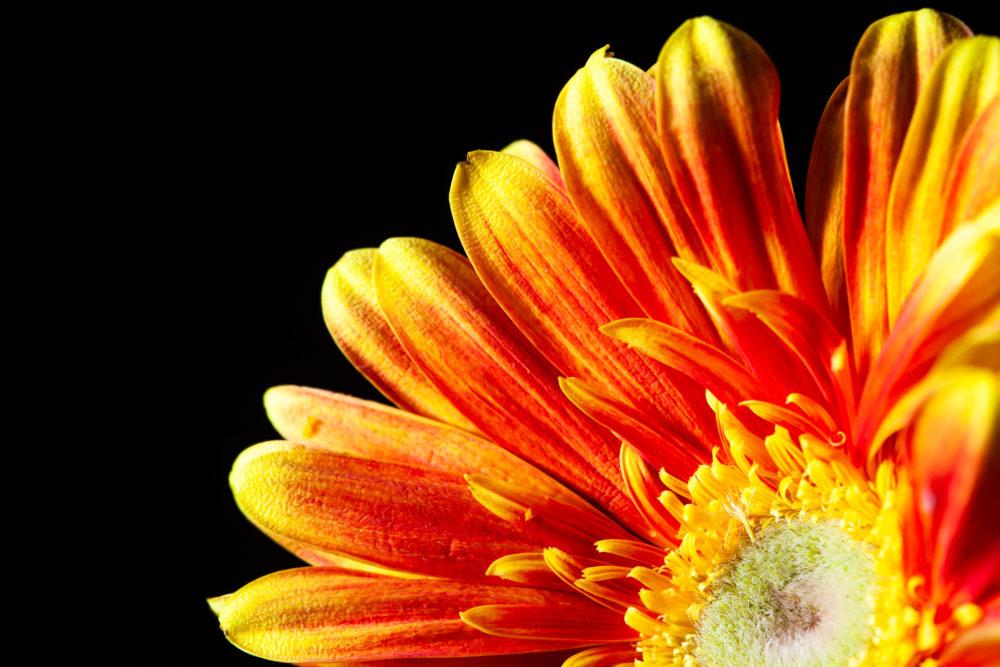 Gerbera daisy extreme closeup - orange glow on black background