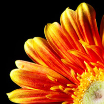 Gerbera daisy extreme closeup - orange glow on black background