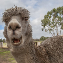 Funny portrait of alpaca