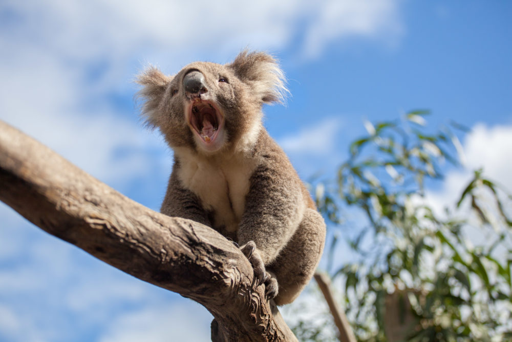 Portrait of Koala sitting and yawning on a branch.