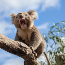 Portrait of Koala sitting and yawning on a branch.