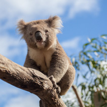 Portrait of Koala sitting on a branch.