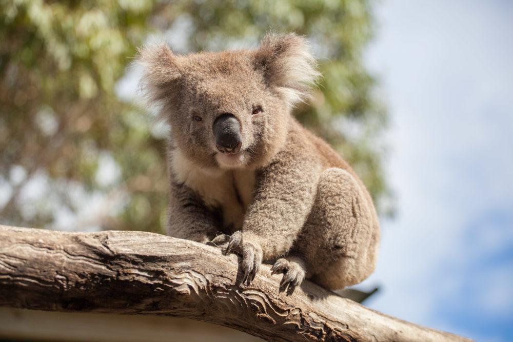 Portrait of Koala sitting on a branch.