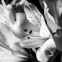 Peruvian lily extreme closeup in black and white