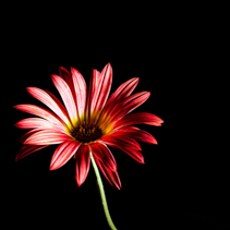 Red daisy on green stem isolated on black background with copy space