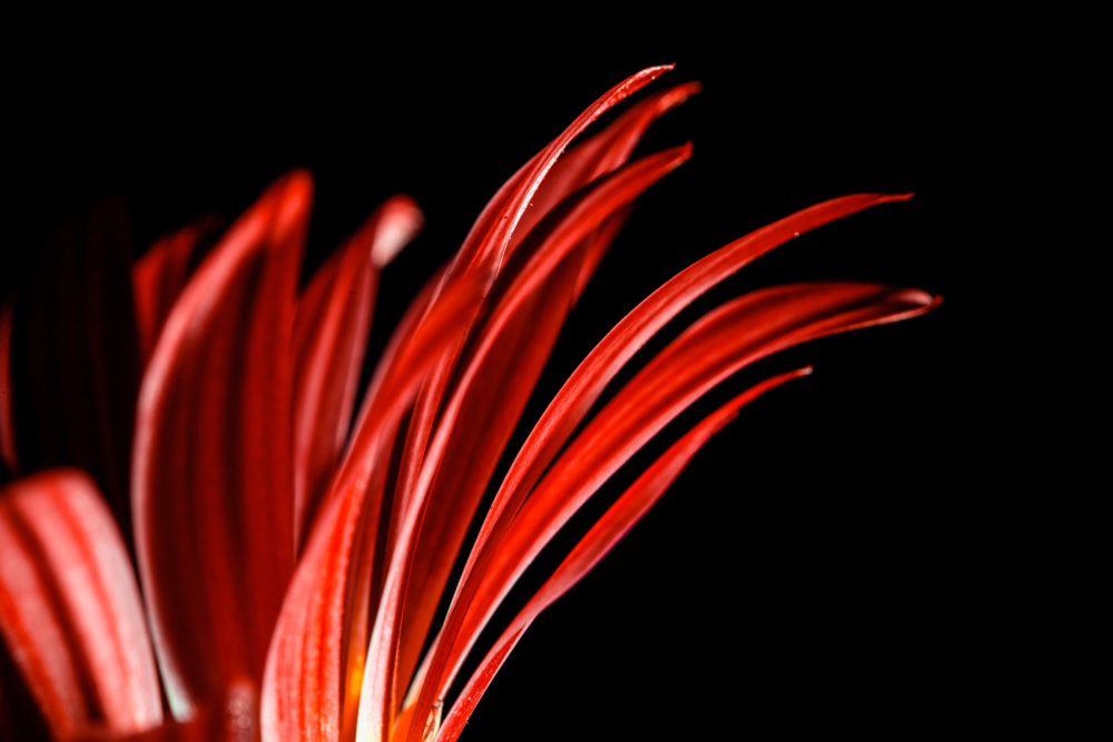 Extreme closeup of red daisy petals on black background