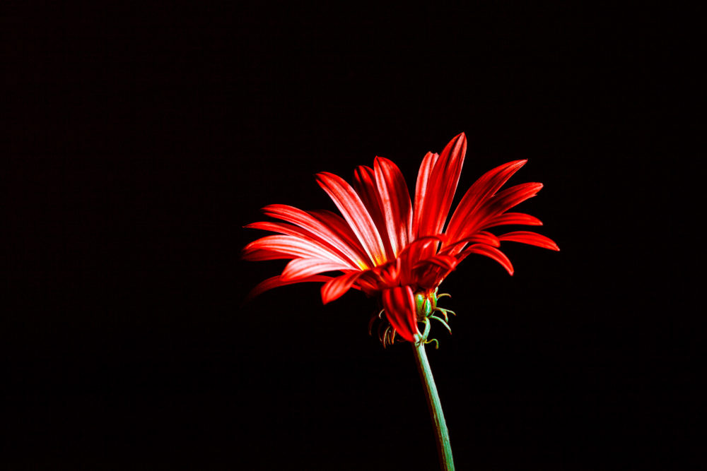 Red daisy isolated on black with copy space