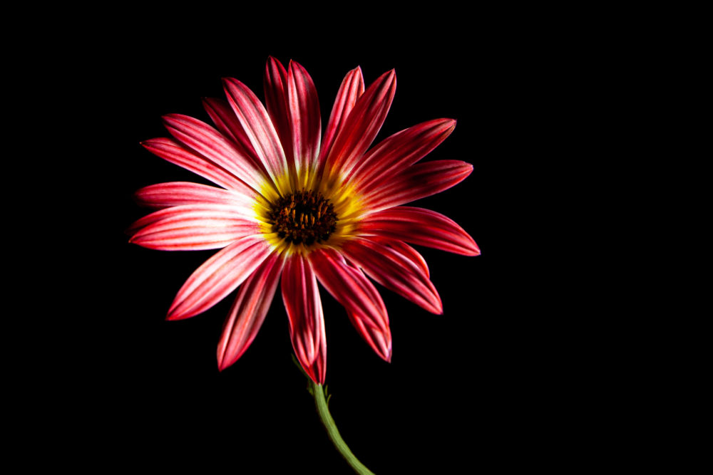 Beautiful red African daisy flower on black background with copy space