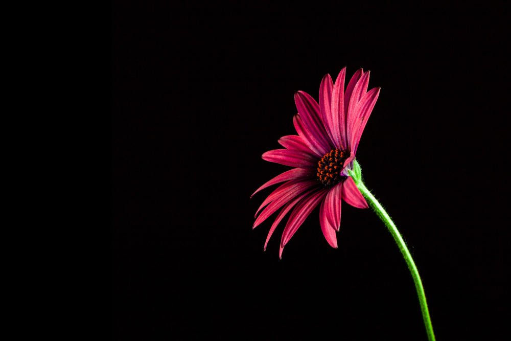 Glowing red African daisy on long green stem on black background with copy space