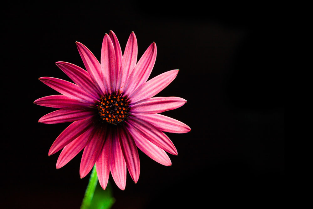 Vivid red African daisy flower on black - studio shot with copy space