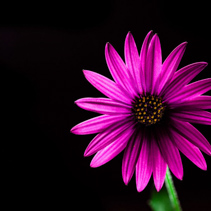 Glowing purple African daisy flower on black - studio shot with copy space