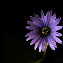 Glowing blue African daisy on black - studio shot with copy space