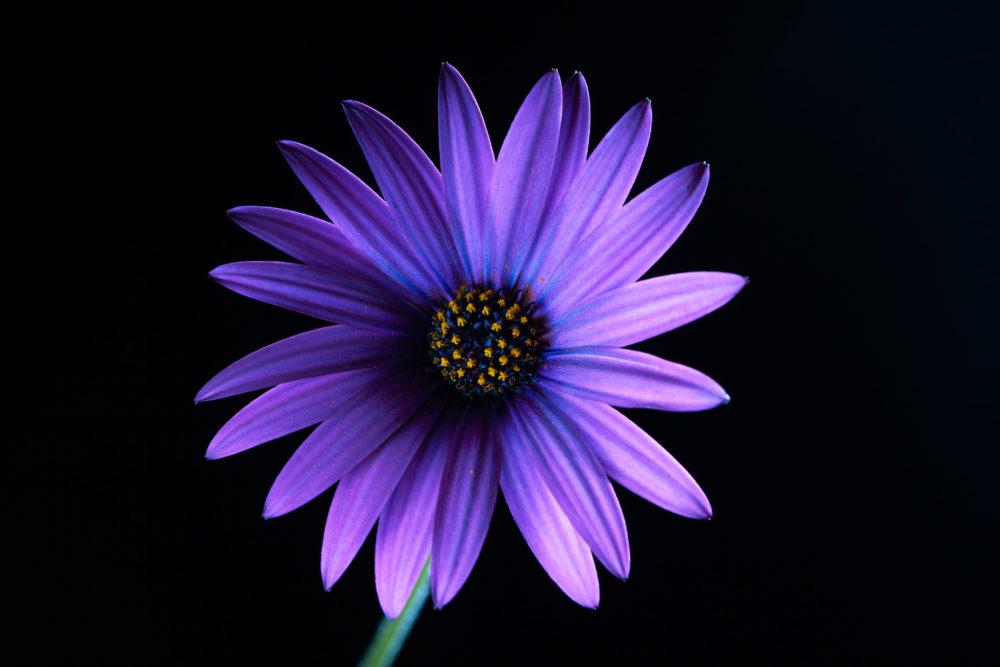 Glowing violet African daisy on black - studio shot