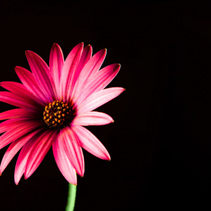 Vivid red glowing African daisy on black with copy space