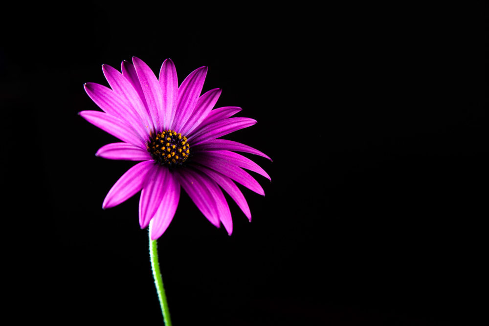 Vivid purple African daisy on black with copy space