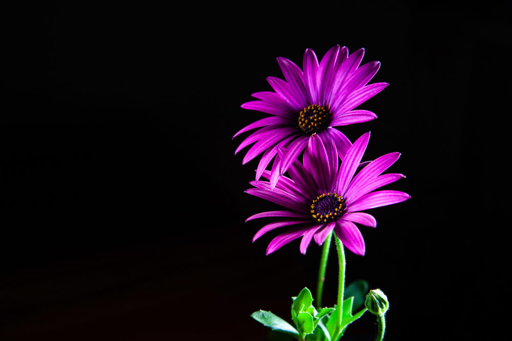 Two purple African daisies on black with copy space