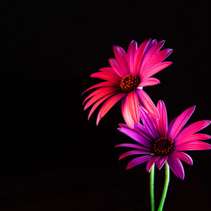 Two beautiful African daisies glowing in red and purple on black background with copy space