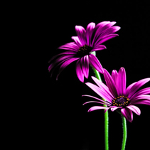 Purple African daisies lit from above - studio shot with copy space