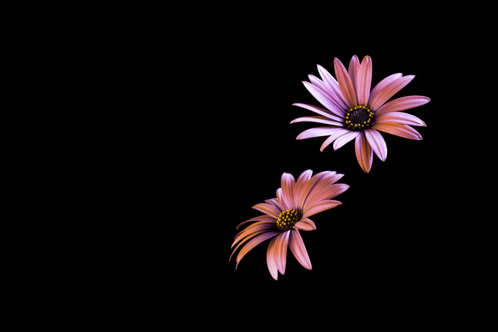 Two daisy flower heads isolated on black background with copy space