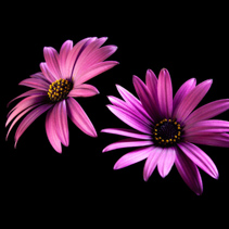 Two purple vivid daisy flower heads isolated on black background with copy space