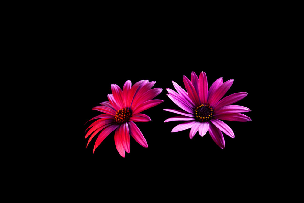 Two red glowing vivid daisy flower heads on black background