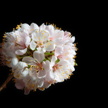 White cherry blossom isolated on black background with copy space