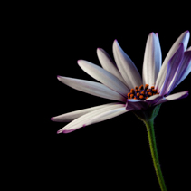 White African daisy on black background - studio shot