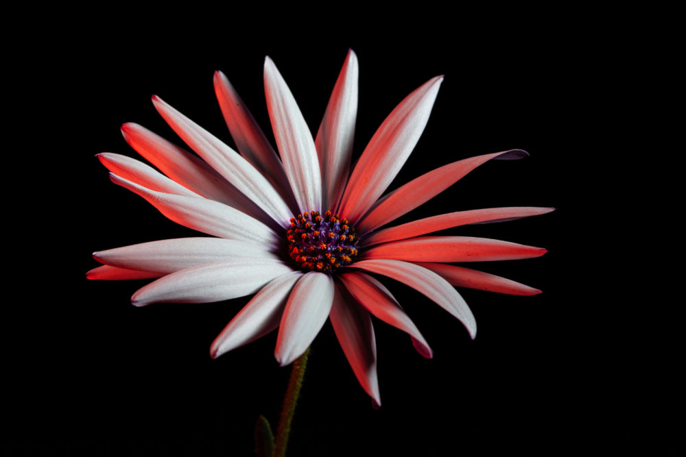 African daisy glowing in red light on black background