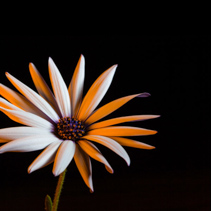 African daisy glowing in golden yellow light with copy space