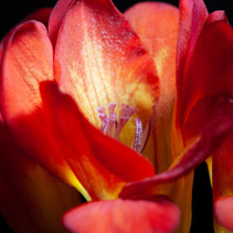 Extreme closeup of red freesia flower