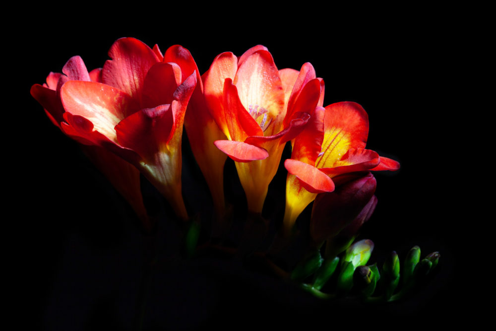 Red freesia flowers glowing isolated on black background