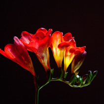 Studio shot of freesia flowers isolated on black