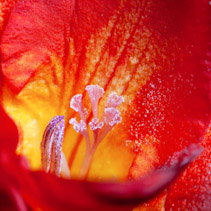 Extreme macro closeup of red freesia flower