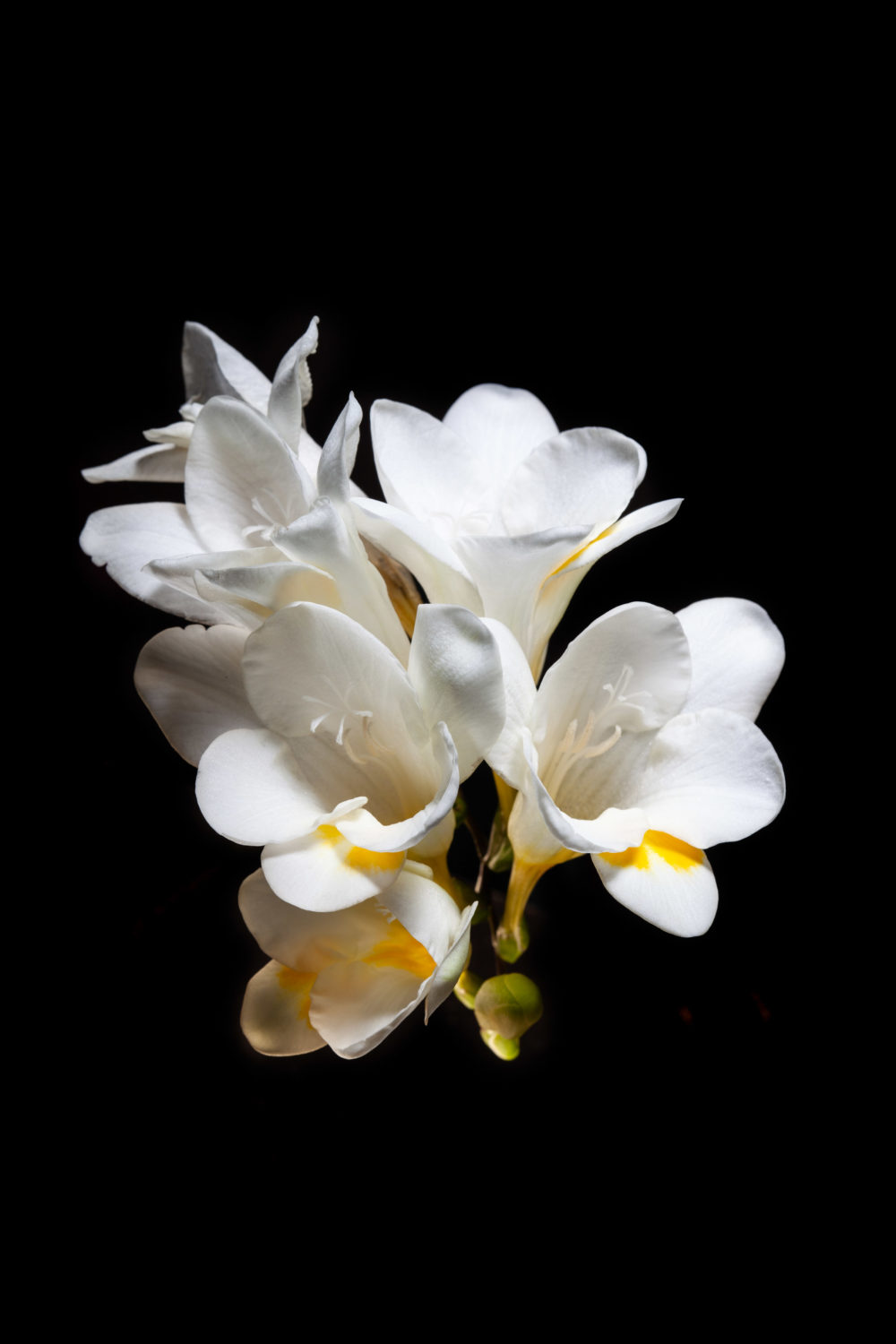 White and yellow freesia flowers isolated on black background