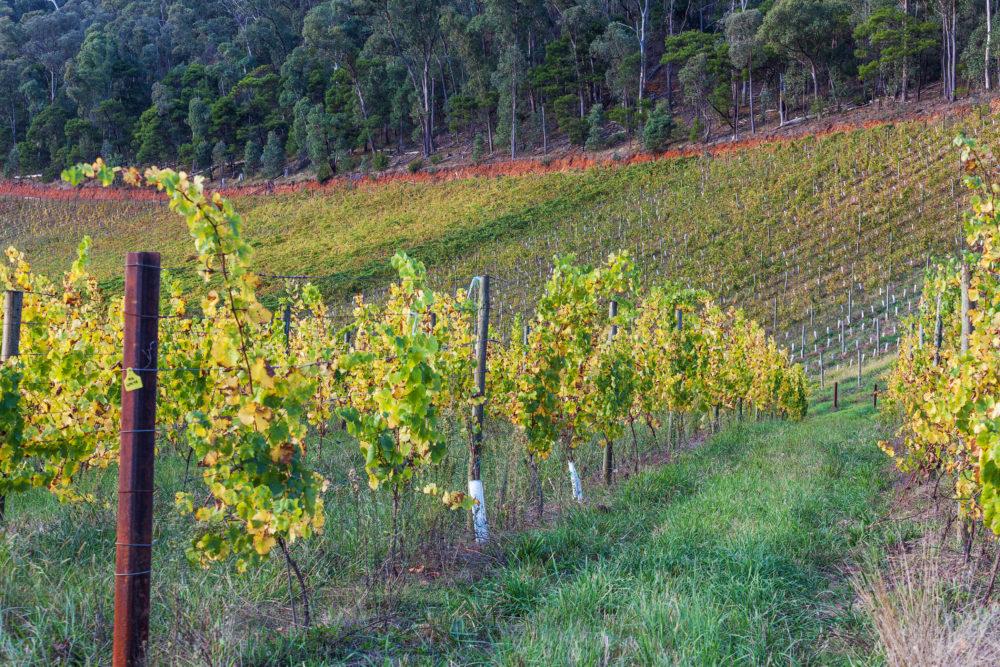 Vineyard in Australia in Autumn
