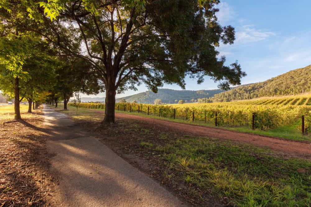 Walkway under trees near vineyard in autumn.