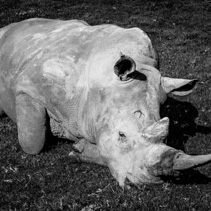 The Southern White Rhinoceros laying in the grass - stylized black and white image