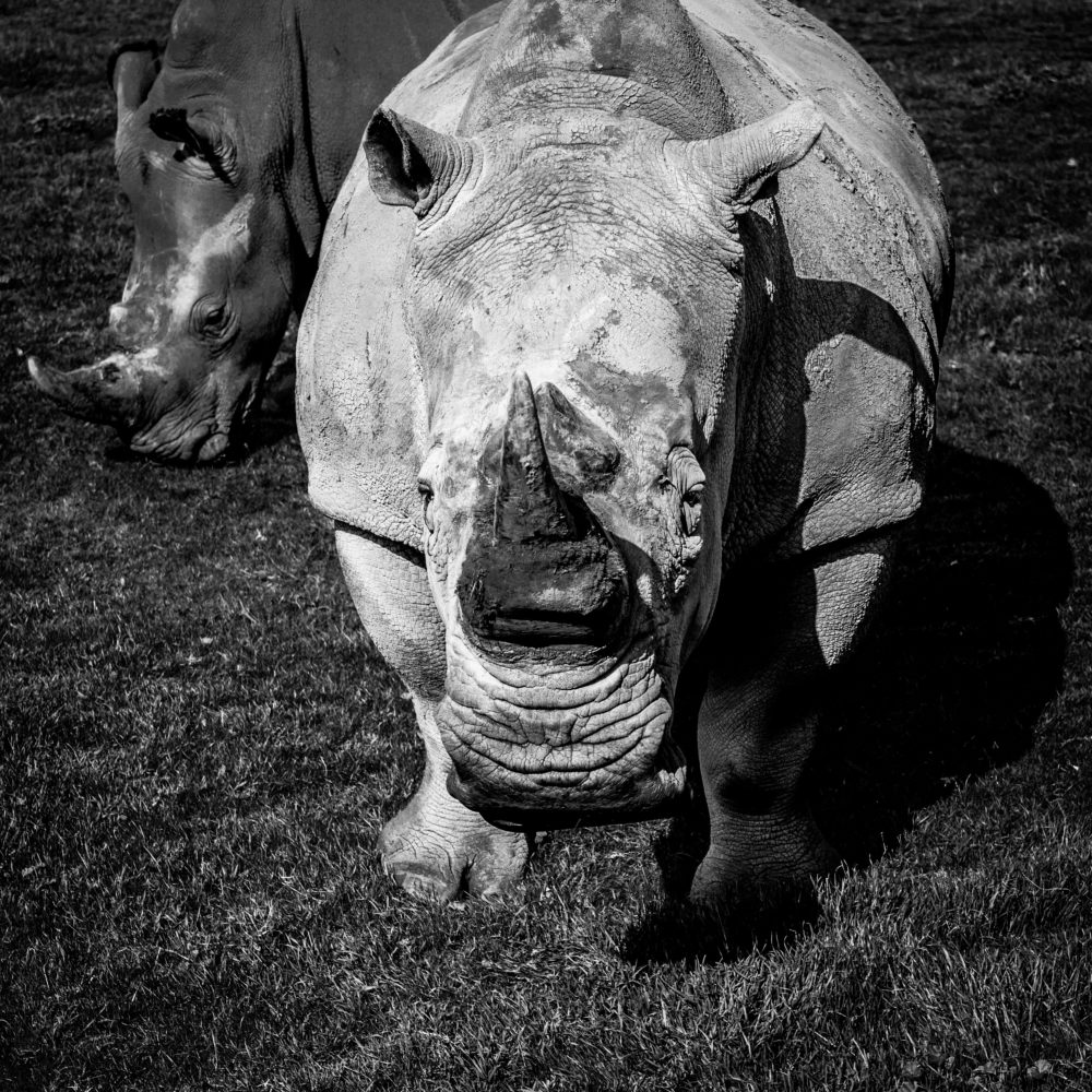 The Southern White Rhinoceros closeup portrait - stylized black and white image
