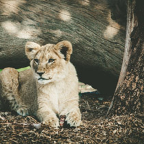 Portrait of a young lion cub in alert staliking pose.