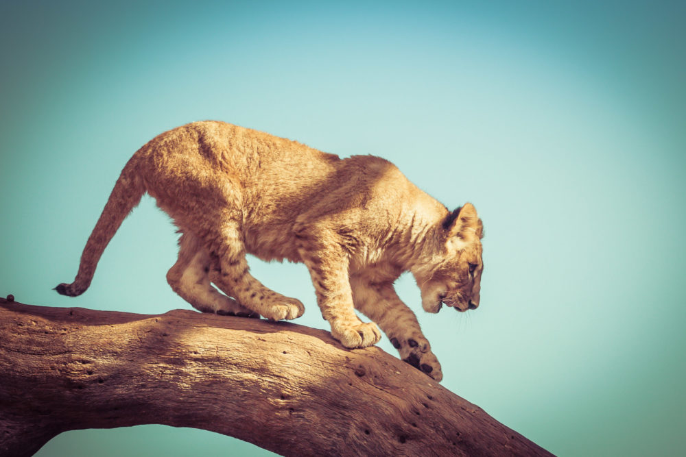Young lion cub trying to get down from a tree branch